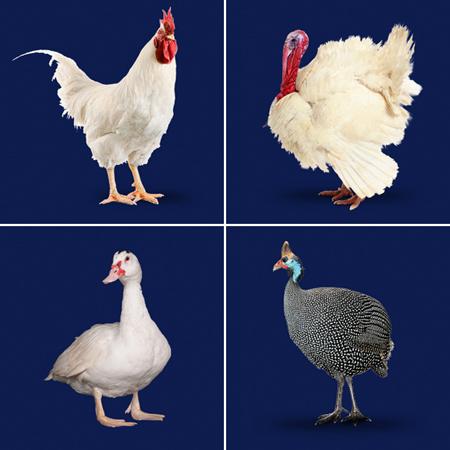5フランスで食べる鶏色々 ニワトリ、七面鳥、ホロホロ鳥、鴨
