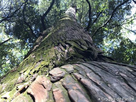 12樹齢800年とか900年とか?