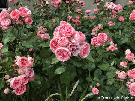 2薔薇が気になる
