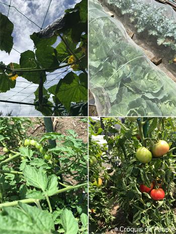 9キュウリ キャベツ ミニトマト トマト
